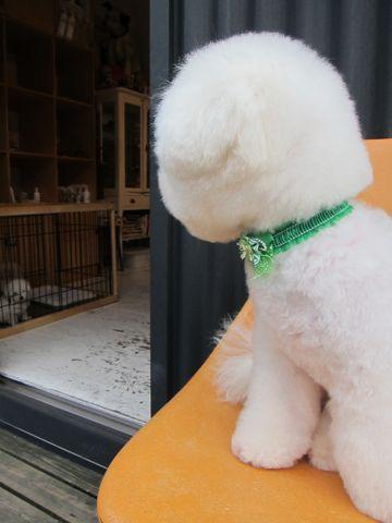 ビションフリーゼフントヒュッテ東京関東ビションフリーゼ子犬情報こいぬかわいいかわいいビションフリーゼのいるお店文京区本駒込hundehutte仔犬ビションフリーゼ58.jpg