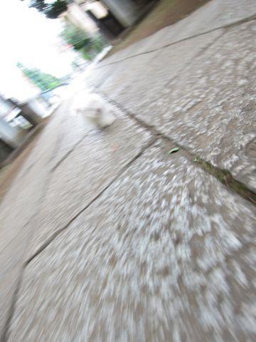 ビションフリーゼフントヒュッテ東京関東ビションフリーゼ子犬情報こいぬかわいいかわいいビションフリーゼのいるお店文京区本駒込hundehutte仔犬ビションフリーゼ59.jpg