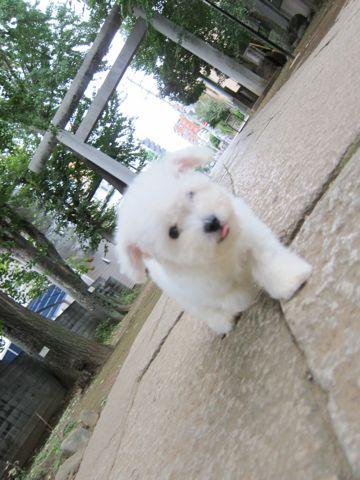 ビションフリーゼフントヒュッテ東京関東ビションフリーゼ子犬情報こいぬかわいいかわいいビションフリーゼのいるお店文京区本駒込hundehutte仔犬ビションフリーゼ60.jpg