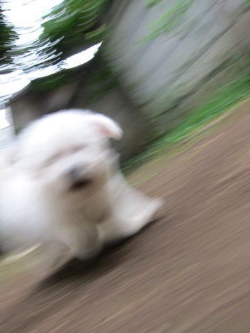 ビションフリーゼフントヒュッテ東京関東ビションフリーゼ子犬情報こいぬかわいいかわいいビションフリーゼのいるお店文京区本駒込hundehutte仔犬ビションフリーゼ61.jpg