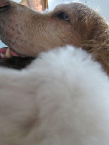 ビションフリーゼフントヒュッテ東京関東ビションフリーゼ子犬情報こいぬかわいいかわいいビションフリーゼのいるお店文京区本駒込hundehutte仔犬ビションフリーゼ115.jpg