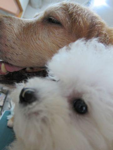 ビションフリーゼフントヒュッテ東京関東ビションフリーゼ子犬情報こいぬかわいいかわいいビションフリーゼのいるお店文京区本駒込hundehutte仔犬ビションフリーゼ116.jpg