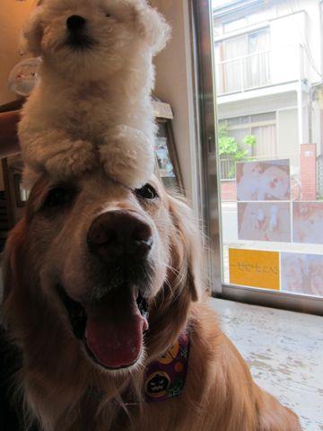 ビションフリーゼフントヒュッテ東京関東ビションフリーゼ子犬情報こいぬかわいいかわいいビションフリーゼのいるお店文京区本駒込hundehutte仔犬ビションフリーゼ142.jpg