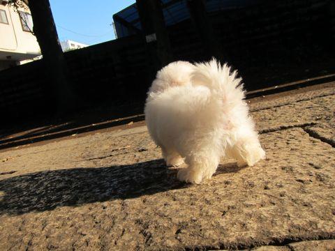 ビションフリーゼフントヒュッテ東京関東ビションフリーゼ子犬情報こいぬかわいいかわいいビションフリーゼのいるお店文京区本駒込hundehutte仔犬ビションフリーゼ149.jpg