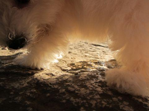 ビションフリーゼフントヒュッテ東京関東ビションフリーゼ子犬情報こいぬかわいいかわいいビションフリーゼのいるお店文京区本駒込hundehutte仔犬ビションフリーゼ151.jpg