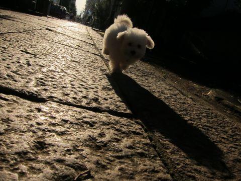 ビションフリーゼフントヒュッテ東京関東ビションフリーゼ子犬情報こいぬかわいいかわいいビションフリーゼのいるお店文京区本駒込hundehutte仔犬ビションフリーゼ152.jpg