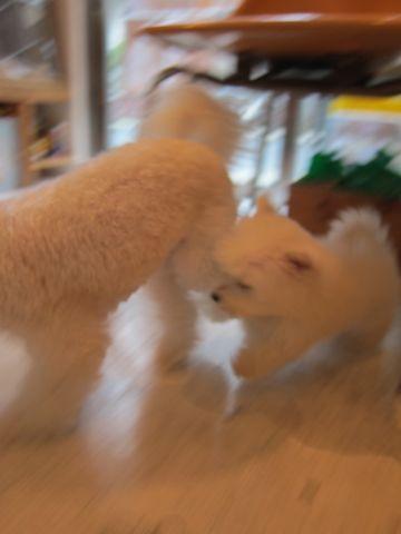 ビションフリーゼフントヒュッテ東京関東ビションフリーゼ子犬情報こいぬかわいいかわいいビションフリーゼのいるお店文京区本駒込hundehutte仔犬ビションフリーゼ175.jpg