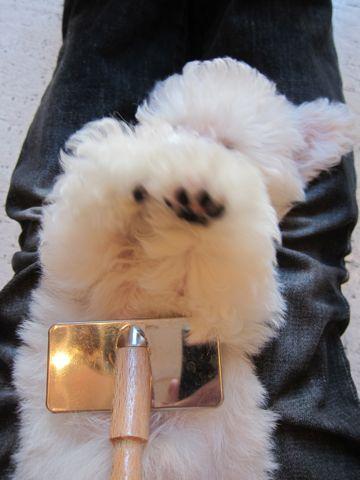 ビションフリーゼフントヒュッテ東京関東ビションフリーゼ子犬情報こいぬかわいいかわいいビションフリーゼのいるお店文京区本駒込hundehutte仔犬ビションフリーゼ187.jpg