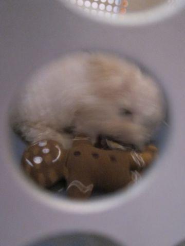 ビションフリーゼフントヒュッテ東京関東ビションフリーゼ子犬情報こいぬかわいいかわいいビションフリーゼのいるお店文京区本駒込hundehutte仔犬ビションフリーゼ205.jpg