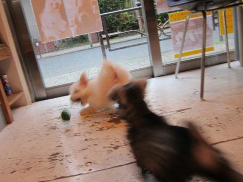 ミニチュア・シュナウザーこいぬ子犬仔犬ミニチュアシュナウザー東京フントヒュッテシュナウザーの子犬文京区本駒込hundehutteビションフリーゼかわいいこいぬ子犬関東72.jpg
