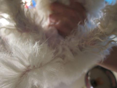ビションフリーゼフントヒュッテ東京関東ビションフリーゼ子犬情報こいぬかわいいかわいいビションフリーゼのいるお店文京区本駒込hundehutte仔犬ビションフリーゼ226.jpg