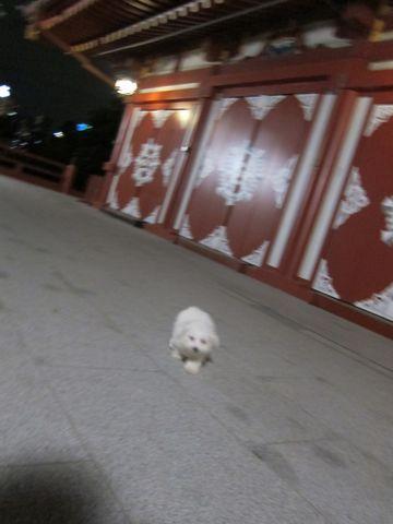ビションフリーゼフントヒュッテ東京関東ビションフリーゼ子犬情報こいぬかわいいかわいいビションフリーゼのいるお店文京区本駒込hundehutte仔犬ビションフリーゼ255.jpg