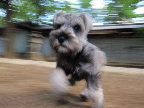 ミニチュア・シュナウザーこいぬ子犬仔犬ミニチュアシュナウザー東京フントヒュッテシュナウザーの子犬文京区本駒込hundehutteソルトアンドペッパーかわいいシュナ51.jpg