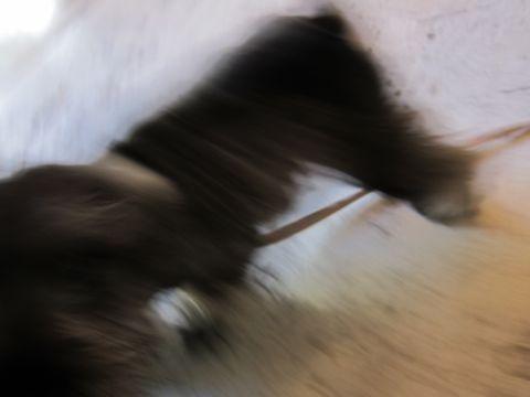ミニチュア・シュナウザーこいぬ子犬仔犬ミニチュアシュナウザー東京フントヒュッテシュナウザーの子犬文京区本駒込hundehutteソルトアンドペッパーかわいいシュナ59.jpg