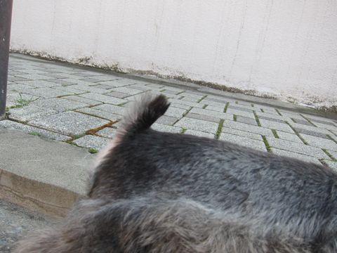 ミニチュア・シュナウザーこいぬ子犬仔犬ミニチュアシュナウザー東京フントヒュッテシュナウザーの子犬文京区本駒込hundehutteソルトアンドペッパーかわいいシュナ70.jpg