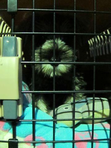 ミニチュア・シュナウザーこいぬ子犬仔犬ミニチュアシュナウザー東京フントヒュッテシュナウザーの子犬文京区本駒込hundehutteソルトアンドペッパーかわいいシュナ108.jpg