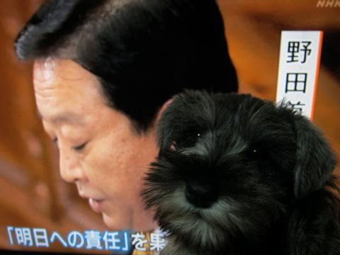 ミニチュア・シュナウザーこいぬ子犬仔犬ミニチュアシュナウザー東京フントヒュッテシュナウザーの子犬文京区本駒込hundehutteソルトアンドペッパーかわいいシュナ115.jpg