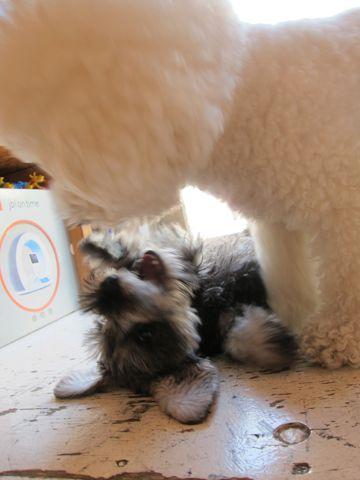 ミニチュア・シュナウザーこいぬ子犬仔犬ミニチュアシュナウザー東京フントヒュッテシュナウザーの子犬文京区本駒込hundehutteソルトアンドペッパーかわいいシュナ143.jpg