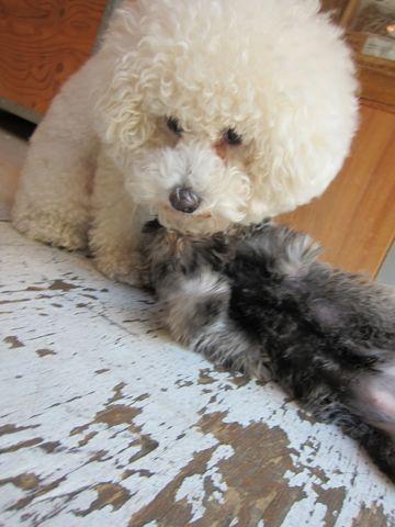 ミニチュア・シュナウザーこいぬ子犬仔犬ミニチュアシュナウザー東京フントヒュッテシュナウザーの子犬文京区本駒込hundehutteソルトアンドペッパーかわいいシュナ145.jpg