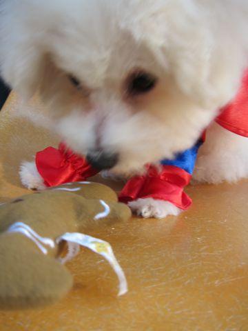 ビションフリーゼ子犬おんなのこ女の子メスあかちゃんビションこいぬフントヒュッテ東京かわいいビションフリーゼのいるお店文京区hundehutteビションフリーゼ画像76.jpg