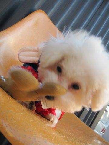 ビションフリーゼ子犬おんなのこ女の子メスあかちゃんビションこいぬフントヒュッテ東京かわいいビションフリーゼのいるお店文京区hundehutteビションフリーゼ画像79.jpg