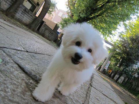 ビションフリーゼ子犬おんなのこ女の子メスあかちゃんビションこいぬフントヒュッテ東京かわいいビションフリーゼのいるお店文京区hundehutteビションフリーゼ画像83.jpg