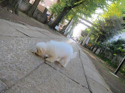 ビションフリーゼ子犬おんなのこ女の子メスあかちゃんビションこいぬフントヒュッテ東京かわいいビションフリーゼのいるお店文京区hundehutteビションフリーゼ画像84.jpg