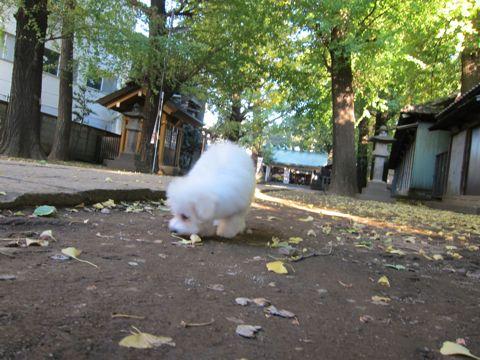 ビションフリーゼ子犬おんなのこ女の子メスあかちゃんビションこいぬフントヒュッテ東京かわいいビションフリーゼのいるお店文京区hundehutteビションフリーゼ画像86.jpg