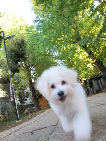 ビションフリーゼ子犬おんなのこ女の子メスあかちゃんビションこいぬフントヒュッテ東京かわいいビションフリーゼのいるお店文京区hundehutteビションフリーゼ画像87.jpg