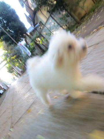 ビションフリーゼ子犬おんなのこ女の子メスあかちゃんビションこいぬフントヒュッテ東京かわいいビションフリーゼのいるお店文京区hundehutteビションフリーゼ画像88.jpg