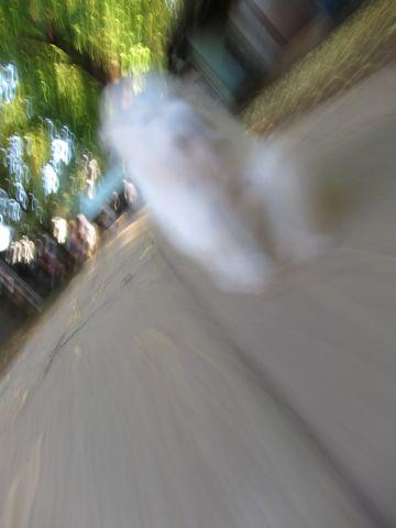 ビションフリーゼ子犬おんなのこ女の子メスあかちゃんビションこいぬフントヒュッテ東京かわいいビションフリーゼのいるお店文京区hundehutteビションフリーゼ画像91.jpg