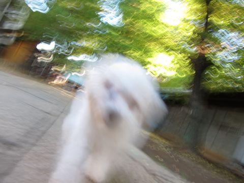 ビションフリーゼ子犬おんなのこ女の子メスあかちゃんビションこいぬフントヒュッテ東京かわいいビションフリーゼのいるお店文京区hundehutteビションフリーゼ画像92.jpg