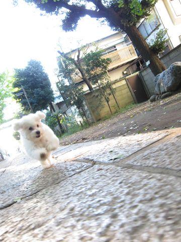 ビションフリーゼ子犬おんなのこ女の子メスあかちゃんビションこいぬフントヒュッテ東京かわいいビションフリーゼのいるお店文京区hundehutteビションフリーゼ画像93.jpg