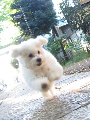 ビションフリーゼ子犬おんなのこ女の子メスあかちゃんビションこいぬフントヒュッテ東京かわいいビションフリーゼのいるお店文京区hundehutteビションフリーゼ画像94.jpg