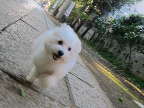 ビションフリーゼ子犬おんなのこ女の子メスあかちゃんビションこいぬフントヒュッテ東京かわいいビションフリーゼのいるお店文京区hundehutteビションフリーゼ画像95.jpg