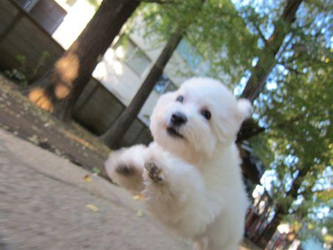 ビションフリーゼ子犬おんなのこ女の子メスあかちゃんビションこいぬフントヒュッテ東京かわいいビションフリーゼのいるお店文京区hundehutteビションフリーゼ画像96.jpg