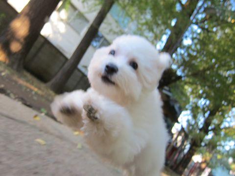 ビションフリーゼ子犬おんなのこ女の子メスあかちゃんビションこいぬフントヒュッテ東京かわいいビションフリーゼのいるお店文京区hundehutteビションフリーゼ画像97.jpg