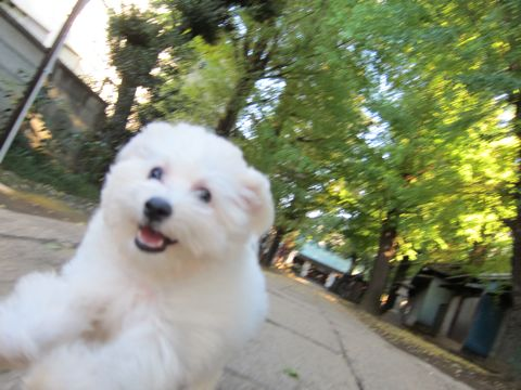 ビションフリーゼ子犬おんなのこ女の子メスあかちゃんビションこいぬフントヒュッテ東京かわいいビションフリーゼのいるお店文京区hundehutteビションフリーゼ画像98.jpg