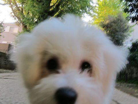 ビションフリーゼ子犬おんなのこ女の子メスあかちゃんビションこいぬフントヒュッテ東京かわいいビションフリーゼのいるお店文京区hundehutteビションフリーゼ画像99.jpg