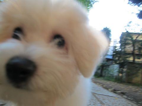 ビションフリーゼ子犬おんなのこ女の子メスあかちゃんビションこいぬフントヒュッテ東京かわいいビションフリーゼのいるお店文京区hundehutteビションフリーゼ画像100.jpg
