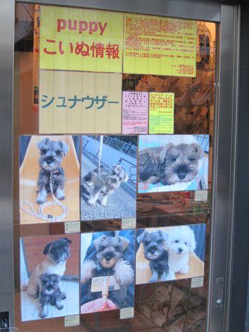 ミニチュア・シュナウザーこいぬ子犬仔犬ミニチュアシュナウザー東京フントヒュッテシュナウザーの子犬文京区本駒込hundehutteソルトアンドペッパーかわいいシュナ172.jpg