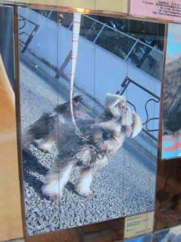 ミニチュア・シュナウザーこいぬ子犬仔犬ミニチュアシュナウザー東京フントヒュッテシュナウザーの子犬文京区本駒込hundehutteソルトアンドペッパーかわいいシュナ175.jpg