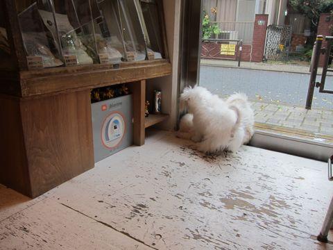 ビションフリーゼ子犬おんなのこ女の子メスあかちゃんビションこいぬフントヒュッテ東京かわいいビションフリーゼのいるお店文京区hundehutteビションフリーゼ画像101.jpg