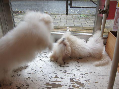 ビションフリーゼ子犬おんなのこ女の子メスあかちゃんビションこいぬフントヒュッテ東京かわいいビションフリーゼのいるお店文京区hundehutteビションフリーゼ画像111.jpg