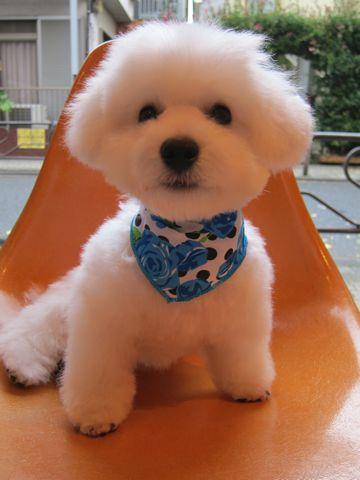 ビションフリーゼフントヒュッテ東京関東ビションフリーゼ子犬情報こいぬかわいいかわいいビションフリーゼのいるお店文京区本駒込hundehutte仔犬ビションフリーゼ292.jpg