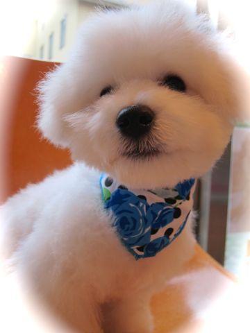 ビションフリーゼフントヒュッテ東京関東ビションフリーゼ子犬情報こいぬかわいいかわいいビションフリーゼのいるお店文京区本駒込hundehutte仔犬ビションフリーゼ295.jpg