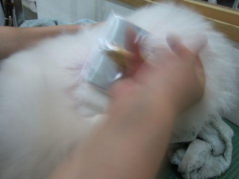 ビションフリーゼ子犬おんなのこ女の子メスあかちゃんビションこいぬフントヒュッテ東京かわいいビションフリーゼのいるお店文京区hundehutteビションフリーゼ画像137.jpg