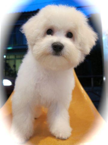 ビションフリーゼ子犬おんなのこ女の子メスあかちゃんビションこいぬフントヒュッテ東京かわいいビションフリーゼのいるお店文京区hundehutteビションフリーゼ画像144.jpg