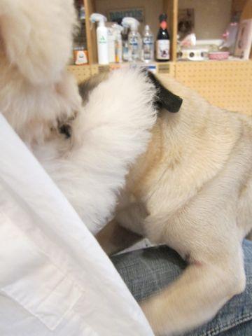 ビションフリーゼ子犬おんなのこ女の子メスあかちゃんビションこいぬフントヒュッテ東京かわいいビションフリーゼのいるお店文京区hundehutteビションフリーゼ画像151.jpg