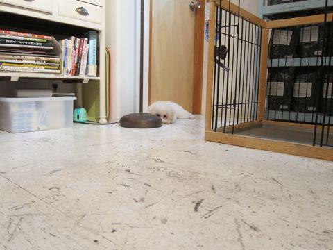 ビションフリーゼ子犬おんなのこ女の子メスあかちゃんビションこいぬフントヒュッテ東京かわいいビションフリーゼのいるお店文京区hundehutteビションフリーゼ画像157.jpg